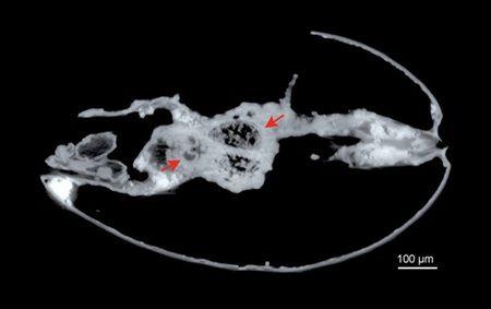 """古生物的""""超长精子"""" 长度为其体长10倍"""