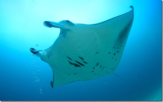 Manta Ray (Manta birostris), Maledives, Indian Ocean