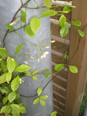 Rhynchospermum jasminoides