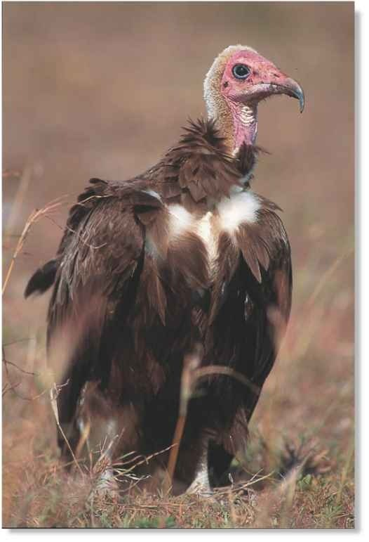 HOODED VULTURE (Birds)