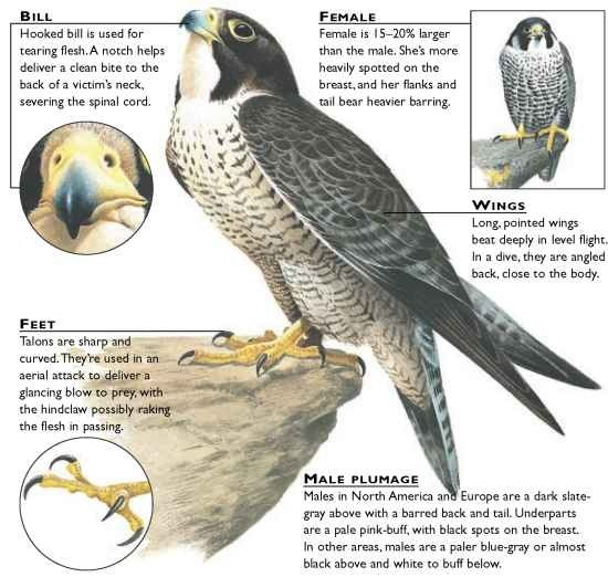 Peregrine Falcon Birds