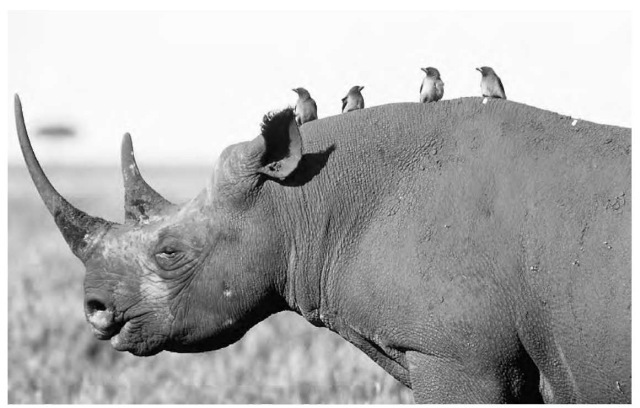 relationship between oxpecker and rhinoceros