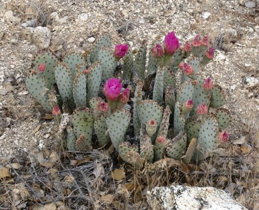A flowering cactus.