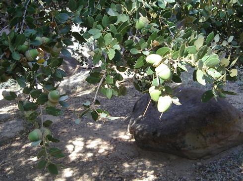 Big, lucious acorns growing on the huge oak.