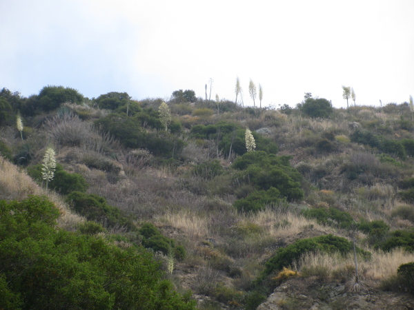 A hillside popping out with blooming yucca.