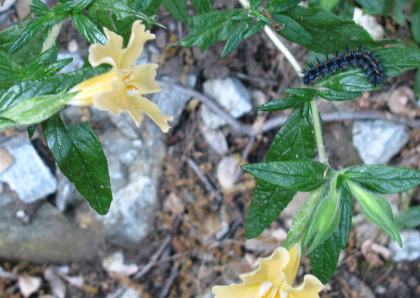 mostly black caterpilar with flecks of blue and orange on a yellow monkey flower