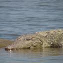 magar crocodile