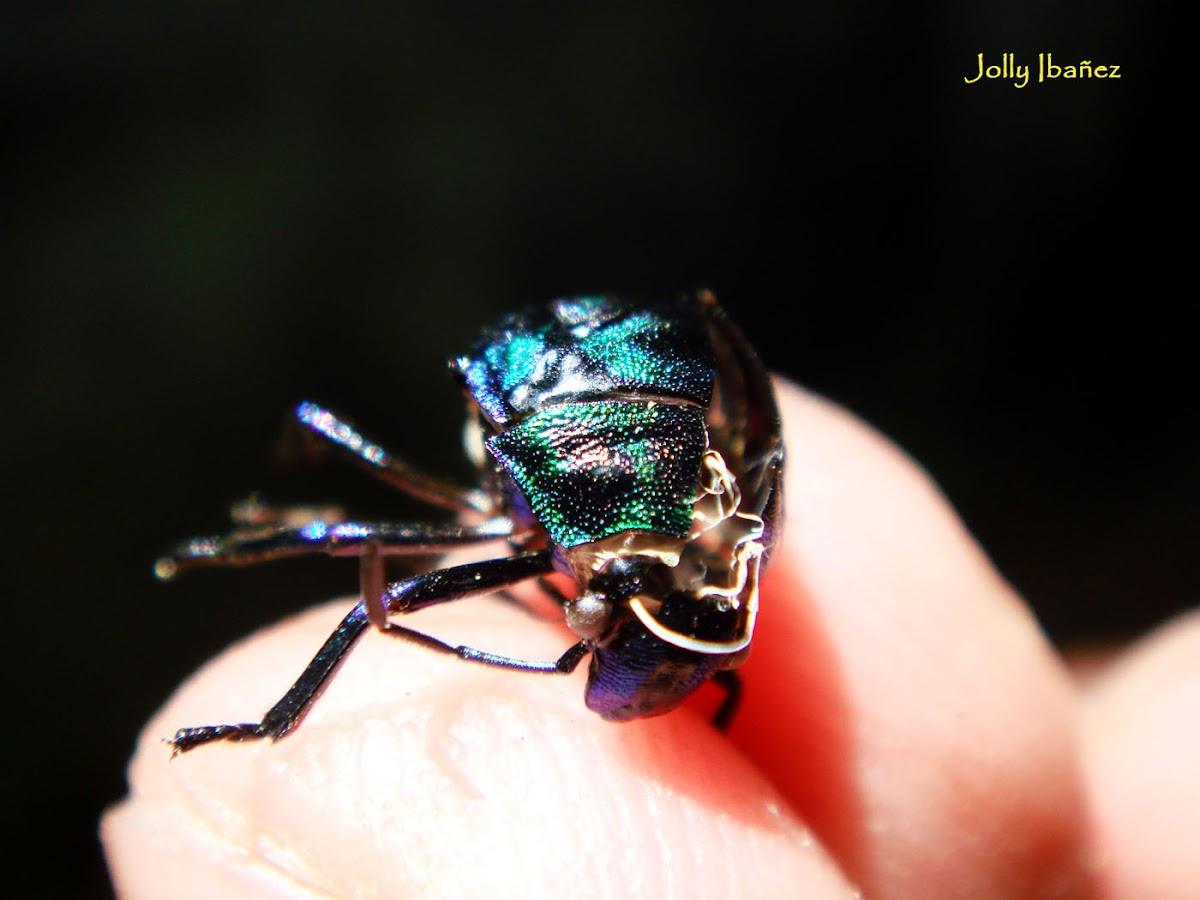 Molt Casing (Jewel Bug)