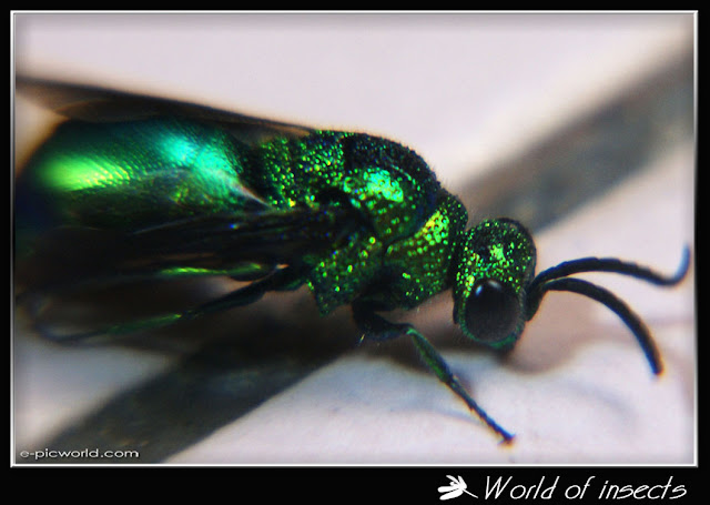 green metallic wasp picture picture