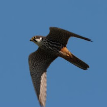 Britain's Got Talons - Birds of Prey