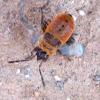 Larva de zapatero