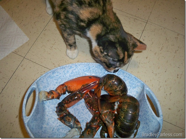 Marble checking out pieces of lobster.