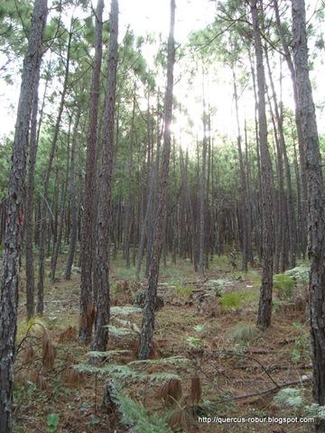 Bosque de pino en el Cerro de la Campana