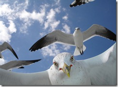 "Curious gulls on Sanibel Island, Florida. Meet my friend, ""Gull-i-Bel""!!! (Photo and caption by Richard Rush)"