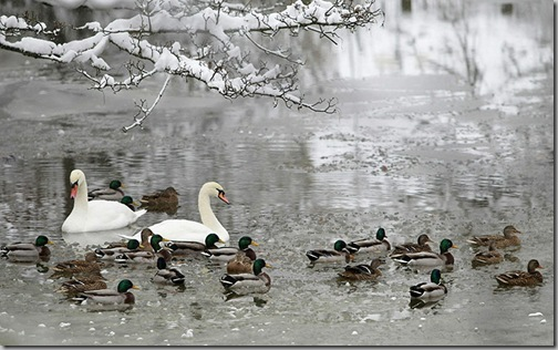 Snow Ducks-and-swans-swim-on-Medway