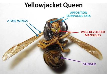 Yellow Jacket Queen Size