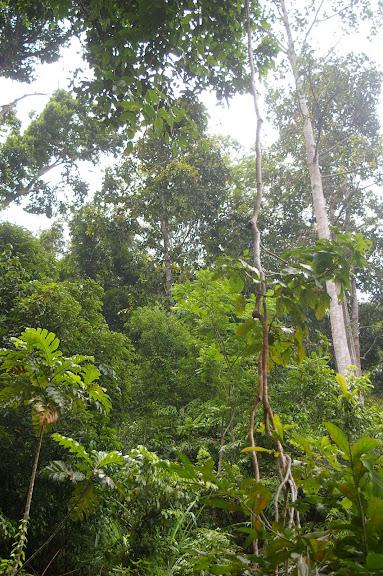 La forêt près de Port Barton. Palawan, 12 août 2005. Photo : J.-M. Gayman