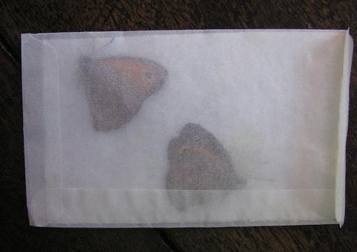 5. Deux papillons d'un côté