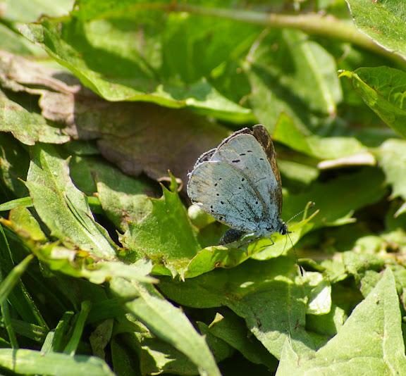 Celastrina argiolus LINNAEUS, 1758. Les Hautes-Lisières (Rouvres, 28), 21 mai 2010. Photo : J.-M. Gayman