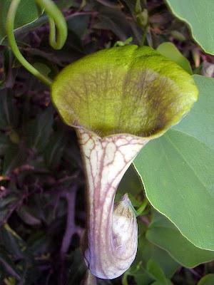 """""""Pipa de Holandes"""" : Aristolochia elegans (familia Aristolochiaceae), planta hospedadora de Battus polydamas. Foto : Carlos Marzano"""