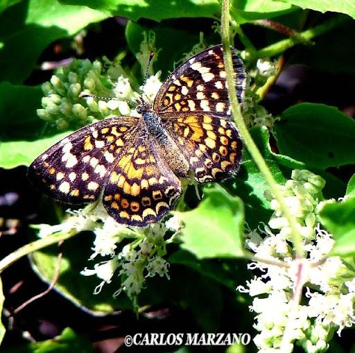 Phystis simois variegata. Observada en : Chaco, Jujuy, Misiones, San Luis, Córdoba, Buenos Aires. Foto : Carlos Marzano