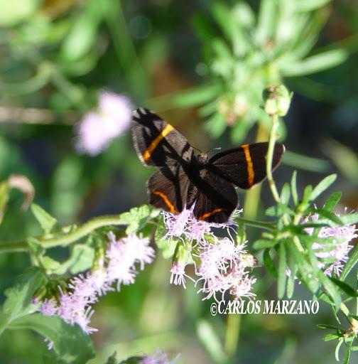 Riodina lysippoides. Foto tomada en Villa Amancay, Cordoba (Febrero 2009). Carlos Marzano
