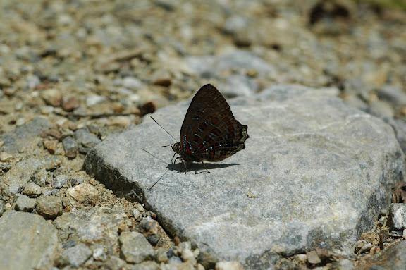 Hypochrysops polycletus LINNAEUS, 1758. Meni, Arfak, 24 août 2007. Photo : G. Zakine