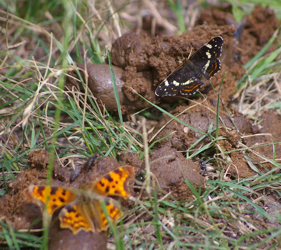 Araschnia levana f. prorsa, les Hautes-Lisières (28260). Photo : J.-M. Gayman. 29 juin 2008