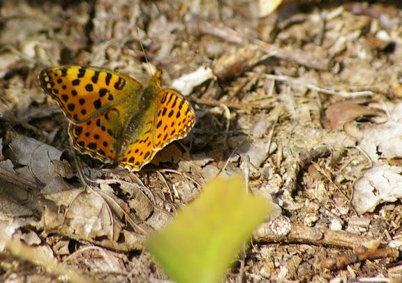 Issoria lathonia, les Hautes-Lisières (28260). Photo : J.-M. Gayman. 9 septembre 2008