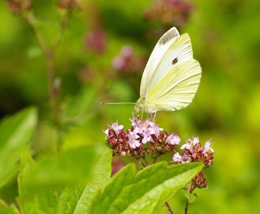 Pieris rapae LINNAEUS, 1758, mâle. Les Hautes-Lisières, 16 juillet 2009. Photo : J.-M. Gayman