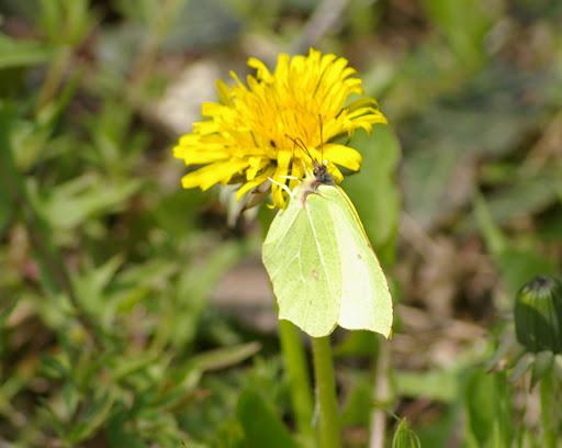 """Gonopteryx rhamni LINNAEUS, 1758, """"frotté"""" sur Pissenlit commun (jardin). Les Hautes-Lisières, 5 avril 2009. Photo : J.-M. Gayman"""