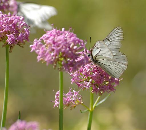 Aporia crataegi LINNAEUS, 1758. Vallon Claous, 2050, m (Mélezen), Alpes-de-Haute-Provence), 7 août 2009. Photo : J.-M. Gayman