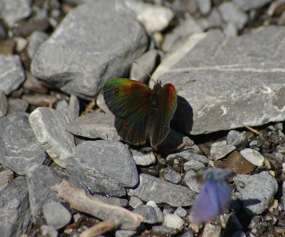 Erebia cassioides aquitania FRUHSTORFER, 1909. Vallon Claous, 1880 m (Mélezen, Alpes-de-Haute-Provence), 7 août 2009. Photo : J.-M. Gayman