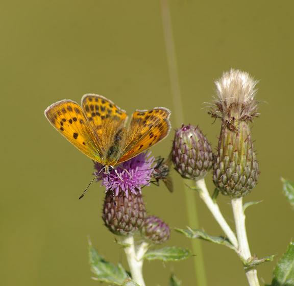 Heodes virgaureae LINAAEUS, 1758, femelle. Super Sauze, 1700 m (Alpes-de-Haute-Provence), 8 août 2009. Photo : J.-M. Gayman