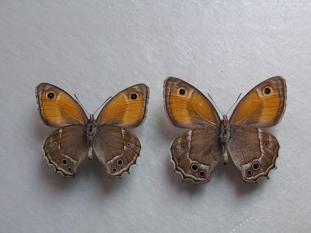 À gauche : Hyponephele davendra seravschanica LUKHTANOV, V. A., 1997 (verso). 35 km au nord de Dushanbe (Tadjikistan), 1505 m, 5.VII.2009. À droite : Hyponephele latistigma MOORE, 1893. B?yer Ahmad K?h-e Din?r env. Sisaht, 3000 m (Iran). 5.VII.2001. Photo : J.-F. Charmeux