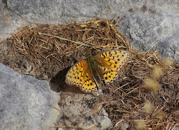 Fabriciana adippe adippe DENIS & SCHIFFERMÜLLER, 1775, femelle. 1780 m, Super Sauze (Ubaye, Alpes-de-Haute-Provence), 12 août 2009. Photo : J.-M. Gayman