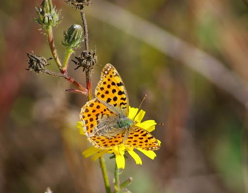 Issoria lathonia LINNAEUS, 1758, femelle. Les Hautes Lisières, 8 octobre 2009. Photo : Jean-Marc Gayman