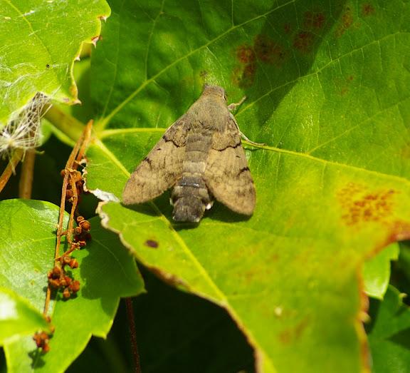 Macroglossum stellatarum LINNAEUS, 1758, Sphingidae. Les Hautes Lisières, 7 octobre 2009. Photo : J.-M. Gayman