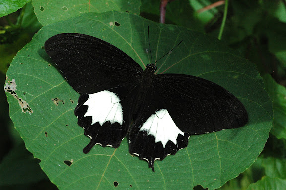 Papilio albinus albinus WALLACE, 1865. Warkapi (Arfak), 27 août 2007. Photo : Gilbert Zakine