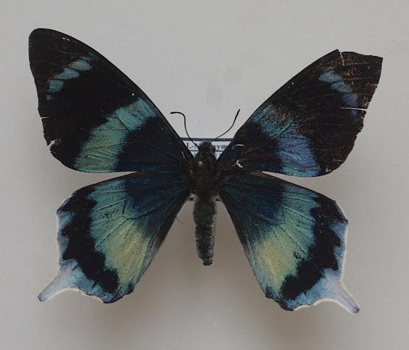 Papilio laglaizei DEPUISET, 1877. Meni, Arfak, août 2007. Photo : J.-M. Gayman