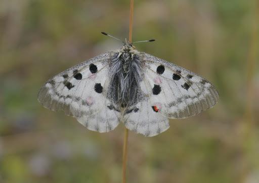 Parnassius (Parnassius) apollo provincialis KHEIL, 1905, femelle. La Blachière, 1700 m (Maurin, Alpes-de-Haute-Provence), 9 août 2009. Photo : J.-M. Gayman