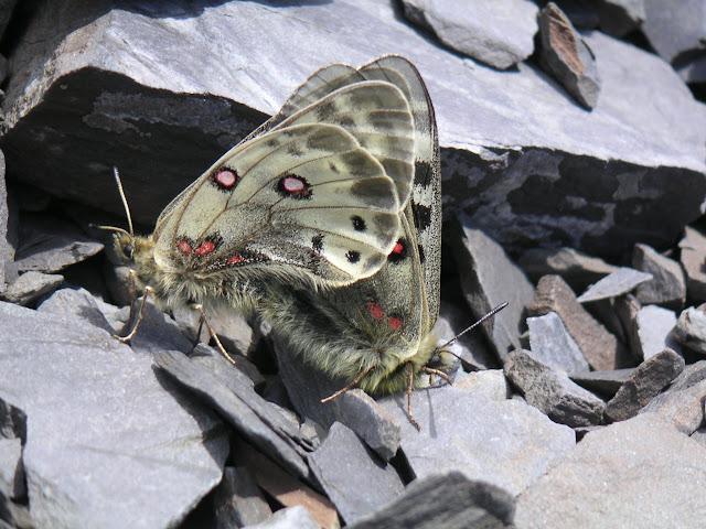 Accouplement de Parnassius (Koramius) delphius albulus HONRATH, 1889. Vallon de Gelley-Karagaï, vallée de Kyzyl Aksuu (3000 m), Kungej Alatau, Kyrgyzistan (5 juillet 2006). Photo : F. Michel