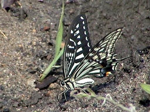 Papilio xuthus LINNAEUS, 1767 - Monts Sinyi. Photo : N. N. Balatskij