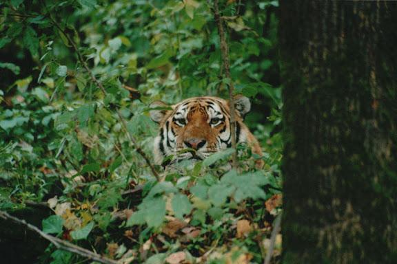 Tigre de l'Oussouri. Photo : Valeryi Lysanskyi