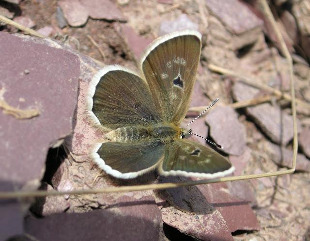 Agriades pheretiades pheretulus STAUDINGER, 1886, femelle. Au-dessus de Muk, 3400 m, vallée de Muksu, Tajikistan, 10 juillet 2007. Photo : F. Michel