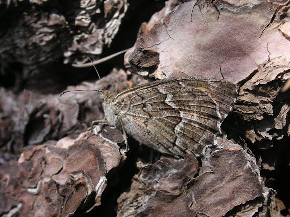 Hipparchia wyssii CHRISTOF, 1889. Ténérife, Mt. Izana, TF24, 1950 m, 8.VIII.2009. Photo : J.-F. Charmeux