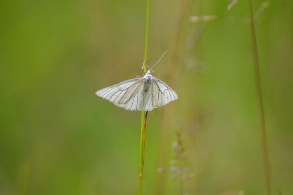 Geometridae : Ennominae : Siona lineata SCOPOLI, 1763. Hautes-Lisières (Rouvres, 28), 10 juin 2010. Photo : J.-M. Gayman