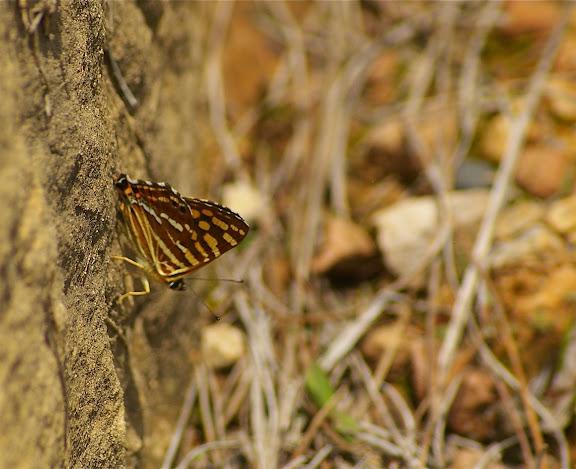 Dodona durga sinica MOORE, 1851, mâle (Riodinidae). Shibao Shan (2200 m) au-dessus de Shaxi (Yunnan), 8 août 2010. Photo : J.-M. Gayman