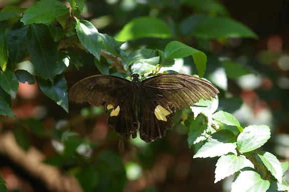 Papilio helenus LINNAEUS, 1758, femelle. Jinghong (Xichuangbanna, Yunnan), 29 août 2010. Photo : J.-M. Gayman