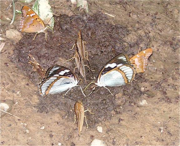 Mimathyma (Chitoria) schrenckii MÉNÉTRIÈS, 1859 et Apatura ilia praeclara. 6 km au sud d'Anisimovka, 19 juillet 2010. Photo : J. Michel